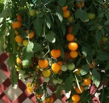 Tomato - Tumbling Tom Yellow - 10 Seeds