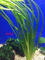 Exotic Live Aquatic Plant Vallisneria spiralis Potted P174
