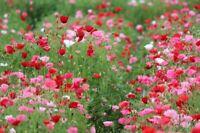 8000 Graines Trèfle Rouge Foncé Fleur Incarnat Trifolium Incarnatum Fixer Azot