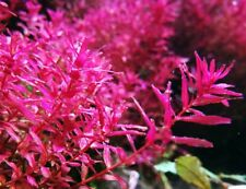 Buy 2 Get 1 Free ! Rotala Macrandra - Aquatic Live Plants Super Price!