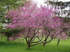 50+ Eastern Red Bud Tree Seeds (Cercis Canadensis) Organic Heirloom Fresh +Gift!