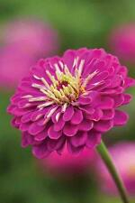 Zinnia Giant Purple Seeds, Blooms 4-5in (10-13cm) Excellent Cut Flower
