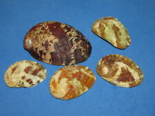 SEASHELLS  HALIOTIS LOT, 5 SHELLS  MRE3192