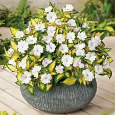 New Listing70 Sunpatiens Vigorous Tropical White Live Plants Plugs Garden Home Planters 469