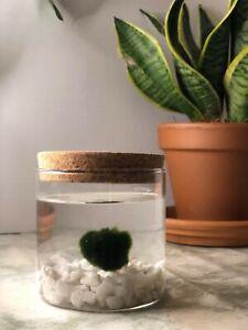 Marimo moss balls Terrarium kit
