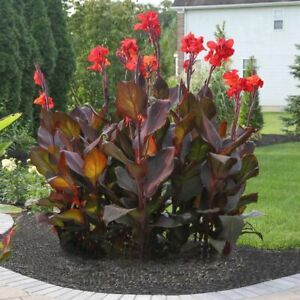 Canna SMOKEY FLAME  5 SEEDS .FRESH VIABLE SEEDS OF THIS TROPICAL EXOTIC PLANT