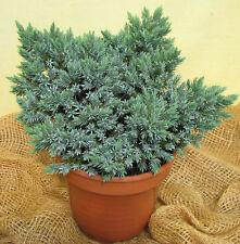 Zwergwacholder Juniperus squamata Blue Star 15-20cm Nadelgehölz Zwergsorte