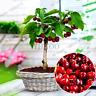 Cherry Bonsai Australia Black Plants Rare Fruit Tree Home Garden V 20 PCS Seeds