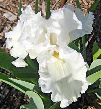 Tall Bearded Iris PEMCAW (bare rooted rhizome)
