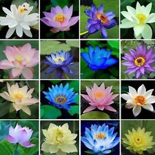 20 pcs Small Water Lily Hydroponic Flowers Seeds Mini Lotus Seeds