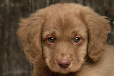 Framed Print - Nova Scotia Duck Tolling Retriever Puppy (Picture Poster Animal)