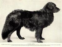 1930s Antique Newfoundland Dog Print Bruno Newfoundland Dog Photo Print  3776r