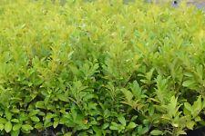 30 Cherry Laurel Evergreen Hedging Shrub 40-60cms 2ltr pots
