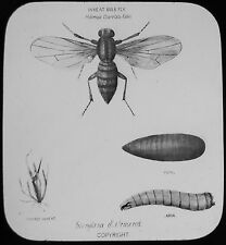 Glass Magic Lantern Slide WHEAT BULB FLY C1890 DRAWING INSECT