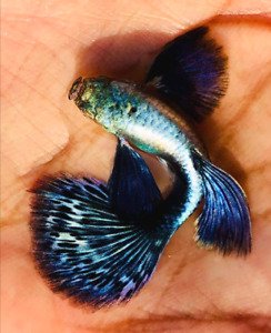 RARE GUPPY GREEN BLUE DRAGON 1 PAIRS (1MALE+1FEMALE)