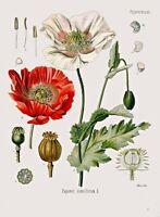 Botanical Herb Medicinal Plants Poppy - 205 Vintage Art Print/Poster