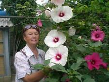 Hibiscus Moscheutos de jardin BLANC / WHITE, fleur de 26 cm! 15 graines / seeds