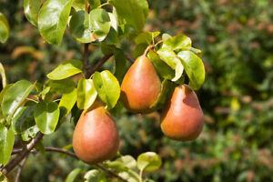 Trio Fruit Apple Tree 2L Potted 80cm