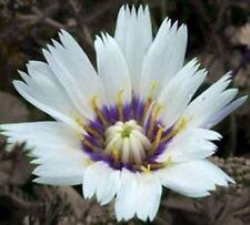Catananche caerulea 'Amor White' H5 Perennial White Blue Blooms 30 Seed UKFreePP