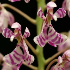 Phalaenopsis zhejiangensis(Nothodoritis)seedlings x 10 / Size S, cold -10°C/12°F