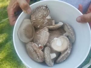 Dried Shiitake Mushrooms - US grown