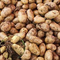 100St Gold Kartoffel Samen Garten Köstliche Frische Obst Gemüse Pflanzen Saatgut