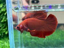 New listing [Ngm - 01063] Live Betta Fish Premium Grade Super Red Male