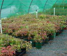 "NANDINA Japanese Bamboo 25-30cm high in 6"" Pots Garden Hedge Plant 5 for $25.00"