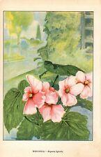 "1926 Vintage GARDEN FLOWER ""BEGONIA"" GORGEOUS COLOR Art Print Lithograph"