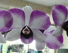 Gift Collection of 3 Orchids