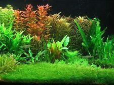 More details for 50 + eleocharis parvula, dwarf hairgrass, live aquarium aquatic plant