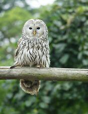 METAL MAGNET Ural Owl Belgium Travel Bird Owls Birds MAGNET