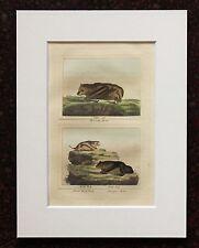 Impresión de color mano montado Buffon Antiguo c.1800 - grabado-Murciélagos