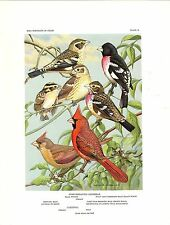 "1960 Vintage ""CARDINAL, ROSE-BREASTED GROSBEAK"" by WEBER GORGEOUS Lithograph 79"