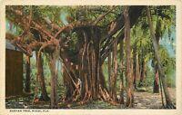 OLD Antique White Border FL Postcard E040 Banyan Tree Miami Swamp Chamberlain