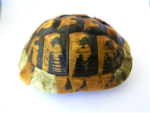 Natural  turtle shell   7,87''
