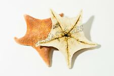 "Bat Starfish Sea Shell Beach Wedding Real Craft 4"" - 5"" ( 2 Pcs)"