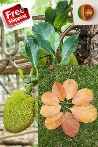 100pcs  Ceylon Jak fruit leaves Aquarium shrimp organic bio film-Natural