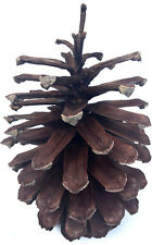 "1 PINE CONE BIG LARGE Natural 7 1/2"" - 8"" H ~ 4 1/2"" - 5"" W ~ Crafts ~ Wreaths"