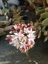 """Sedeveria Hybrid~Lovely 2""""- 3"""" hardy perennial succulent  plant cutting"""