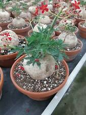 Jatropha berlandieri Sämling/seedling CAUDEX BIG very old  / 仙人掌 กระบองเพชร