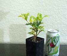 Variegated leaf dwarf Holly Osmanthas for shohin mame bonsai tree multiple list