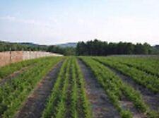 """Blue Spruce Seedlings 18"""" 10 per order"""