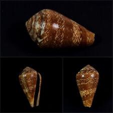 Conus, Lautoconus cacao, M'bour, Senegal, 31,4 mm, VERY NICE