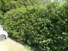 70 Portugal laurel Hedging  Prunus Lusitanica 30-35cm, Evergreen Hedging Plants