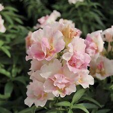 50+   Antirrhinum Appleblossom Flower Seeds / Snapdragon / Annual