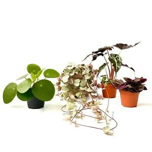 House Plants String of Hearts Money Plant Alocasia Bambino Curly Hanging Plans