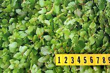 Polyester Fabric - Green - Leaf Hedge Foliage Print 50cm x  150cm - New by Dcf