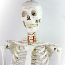 Life Size Human Skeleton Medical Patient Care Manikins Education Teaching Full