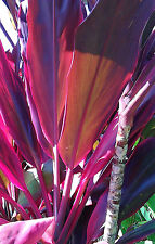 20x Tropical Cordyline Plant RED WINGS log cuttings wax sealed FREE Instructions